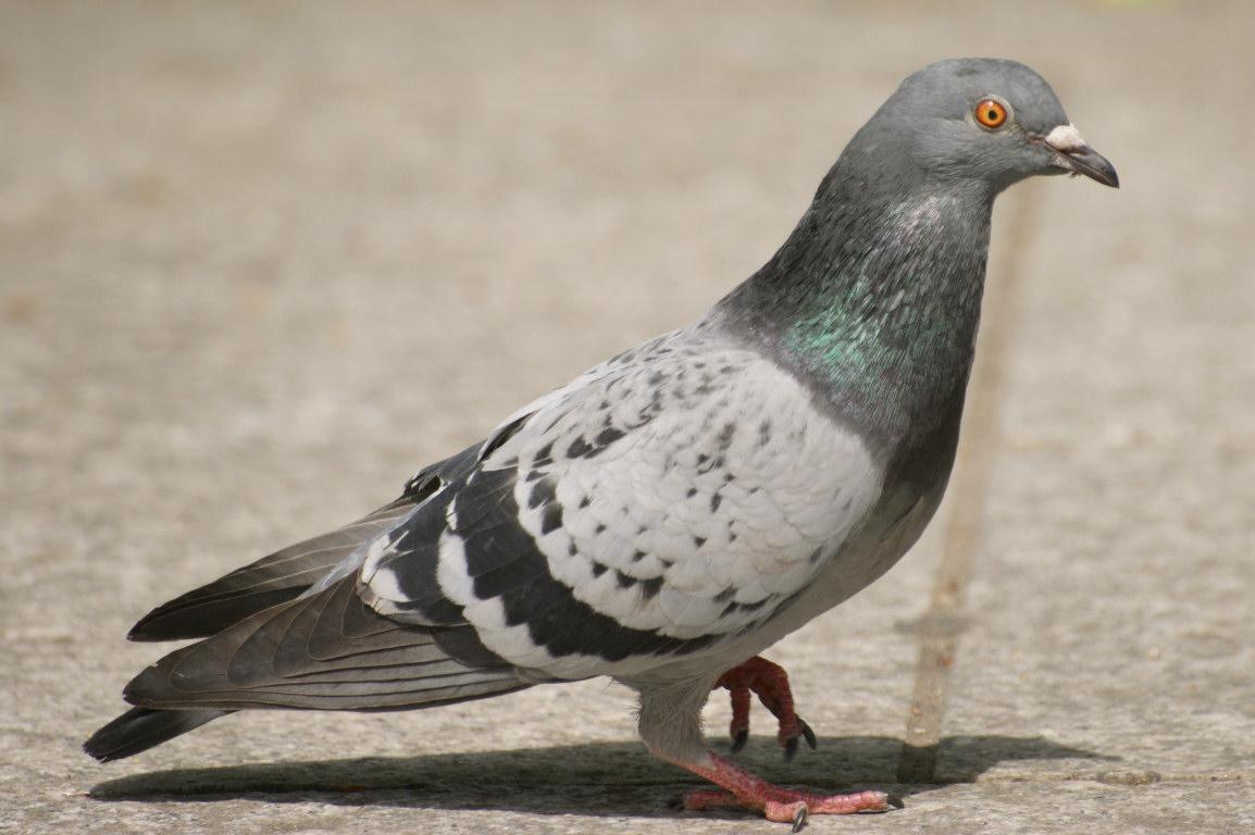 Nom : pigeon-clairemedium.jpg Affichages : 2069 Taille : 154,8 Ko