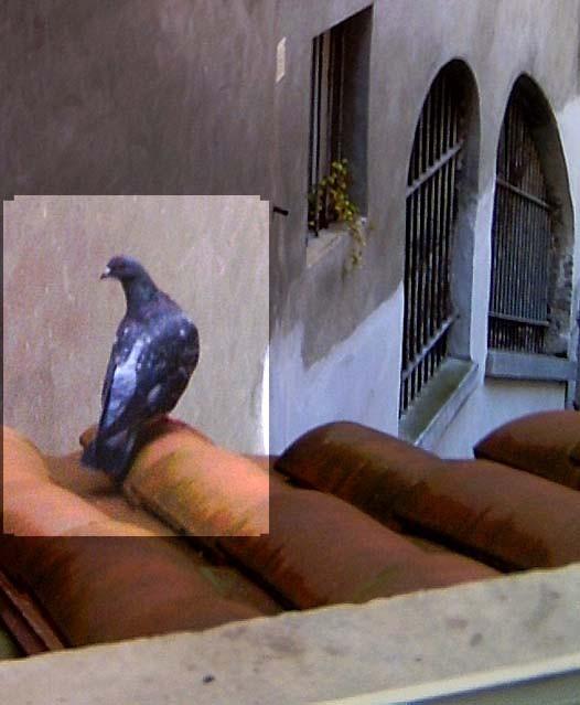 Nom : pigeon1.jpg Affichages : 3316 Taille : 61,3 Ko